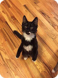 Domestic Mediumhair Kitten for adoption in Media, Pennsylvania - Brendon (Musician Kittens)