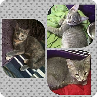 Domestic Shorthair Kitten for adoption in Staten Island, New York - Rudy, Dale and Topaz
