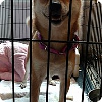 Adopt A Pet :: Foxy-adoption pending - Hanna City, IL