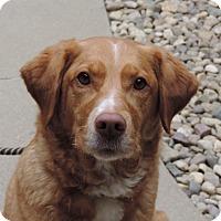 Golden Retriever/Labrador Retriever Mix Dog for adoption in Sioux City, Iowa - KAYLEE