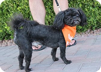 Shih Tzu Mix Dog for adoption in Las Vegas, Nevada - RAMBO