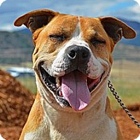 Boxer/Pit Bull Terrier Mix Dog for adoption in Yreka, California - Harley