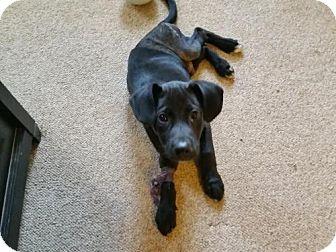 Labrador Retriever Mix Puppy for adoption in Alpharetta, Georgia - Jeremey