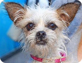 Border Terrier/Brussels Griffon Mix Dog for adoption in New York, New York - Polly