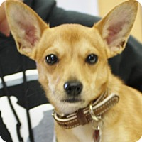Chihuahua Mix Puppy for adoption in Waynesboro, Pennsylvania - Major