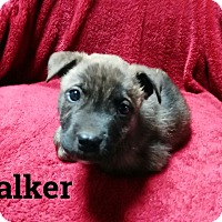 Boxer/Chow Chow Mix Puppy for adoption in Burlington, Vermont - Walker