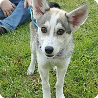 Adopt A Pet :: Dakota Adoption Pending Congrats Greenwell Family! - Hewitt, NJ