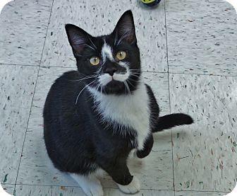 Domestic Shorthair Kitten for adoption in Chambersburg, Pennsylvania - Chocolate