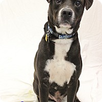 Adopt A Pet :: Chance - Bradenton, FL