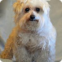 Adopt A Pet :: Stevie Ray - Staunton, VA