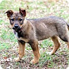 Adopt A Pet :: PUPPY KATIE