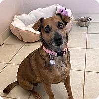 Adopt A Pet :: Olivia - Chino Valley, AZ