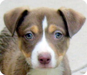 Border Collie/Australian Shepherd Mix Puppy for adoption in Oakley, California - Baby Amber