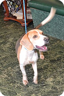 Beagle Mix Dog for adoption in Houston, Texas - George