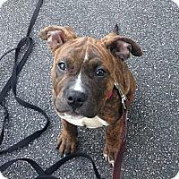 Adopt A Pet :: Tater - Woodbridge, CT