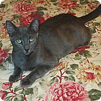 Russian Blue Cat for adoption in Houston, Texas - Gibbons