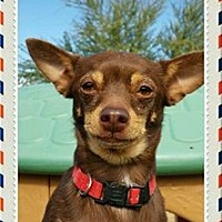 Chihuahua Dog for adoption in Maricopa, Arizona - Mario