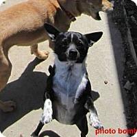 Adopt A Pet :: Macsen - Copperas Cove, TX