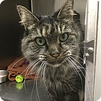 Domestic Mediumhair Cat for adoption in Webster, Massachusetts - Chloe