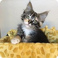 Adopt A Pet :: Sienna - Houston, TX