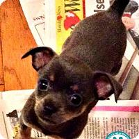 Adopt A Pet :: Pip - Kimberton, PA