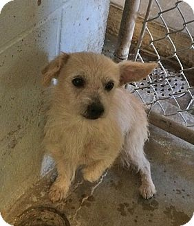 Chihuahua/Cairn Terrier Mix Dog for adoption in El Centro, California - Meatball