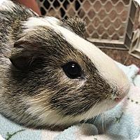 Guinea Pig for adoption in Edinburg, Pennsylvania - Bam Bam