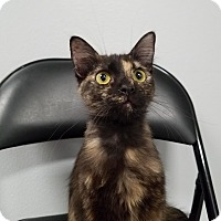 Domestic Mediumhair Cat for adoption in Pasadena, California - Coffee