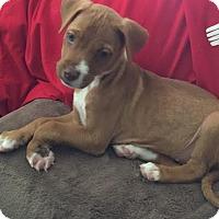 Adopt A Pet :: Asha - Houston, TX