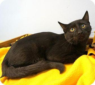 Domestic Shorthair Kitten for adoption in Verona, Wisconsin - Yanto