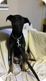 Shepherd (Unknown Type) Mix Puppy for adoption in Olympia, Washington - Rhett