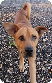 Basenji/Shepherd (Unknown Type) Mix Dog for adoption in Von Ormy, Texas - Chance