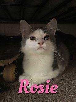 Domestic Mediumhair Kitten for adoption in Cheney, Kansas - Rosie