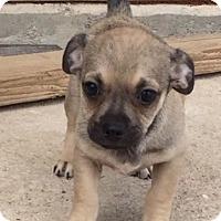Adopt A Pet :: Simone's pup Picachu - Tucson, AZ