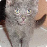 Russian Blue Cat for adoption in San Diego/Imperial Beach, California - Dean