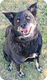 Shepherd (Unknown Type) Mix Dog for adoption in Tucson, Arizona - Harper