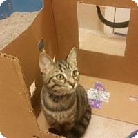 Domestic Shorthair Kitten for adoption in Cumming, Georgia - Sheldon