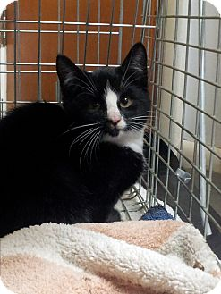 Domestic Shorthair Cat for adoption in Newtown, Pennsylvania - Panda Bear