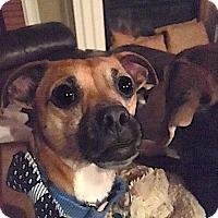 Chihuahua Mix Dog for adoption in Alpharetta, Georgia - Tippet