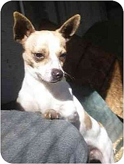 Chihuahua Mix Dog for adoption in Templeton, California - Dutchess