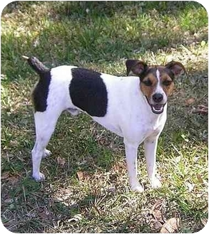 Rat Terrier Mix Dog for adoption in Jacksonville, Florida - Ed