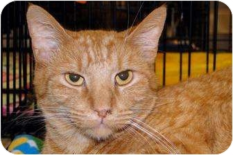 Domestic Shorthair Cat for adoption in Harrisburg, North Carolina - Victor
