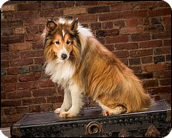 Sheltie, Shetland Sheepdog Dog for adoption in Owensboro, Kentucky - Max