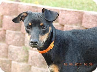 Miniature Pinscher Mix Puppy for adoption in Nashville, Tennessee - Harley