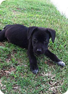 Labrador Retriever Mix Puppy for adoption in Starkville, Mississippi - Tippy