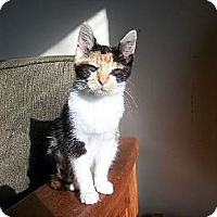 Domestic Shorthair Cat for adoption in Evansville, Indiana - Sgt. Pepper