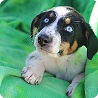 Adopt A Pet :: Carrie Bradshaw - Wytheville, VA