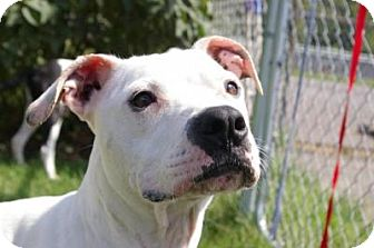 Boxer/American Bulldog Mix Dog for adoption in Grand Rapids, Michigan - Princess
