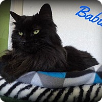 Domestic Longhair Cat for adoption in Pekin, Illinois - Babie