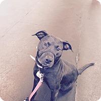 Adopt A Pet :: Diva - Grand Ledge, MI